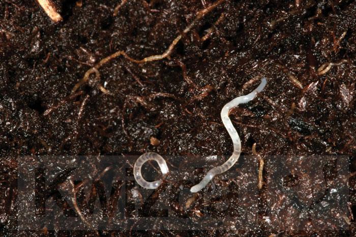 Larva-žalovalke-diptera-sciaridae