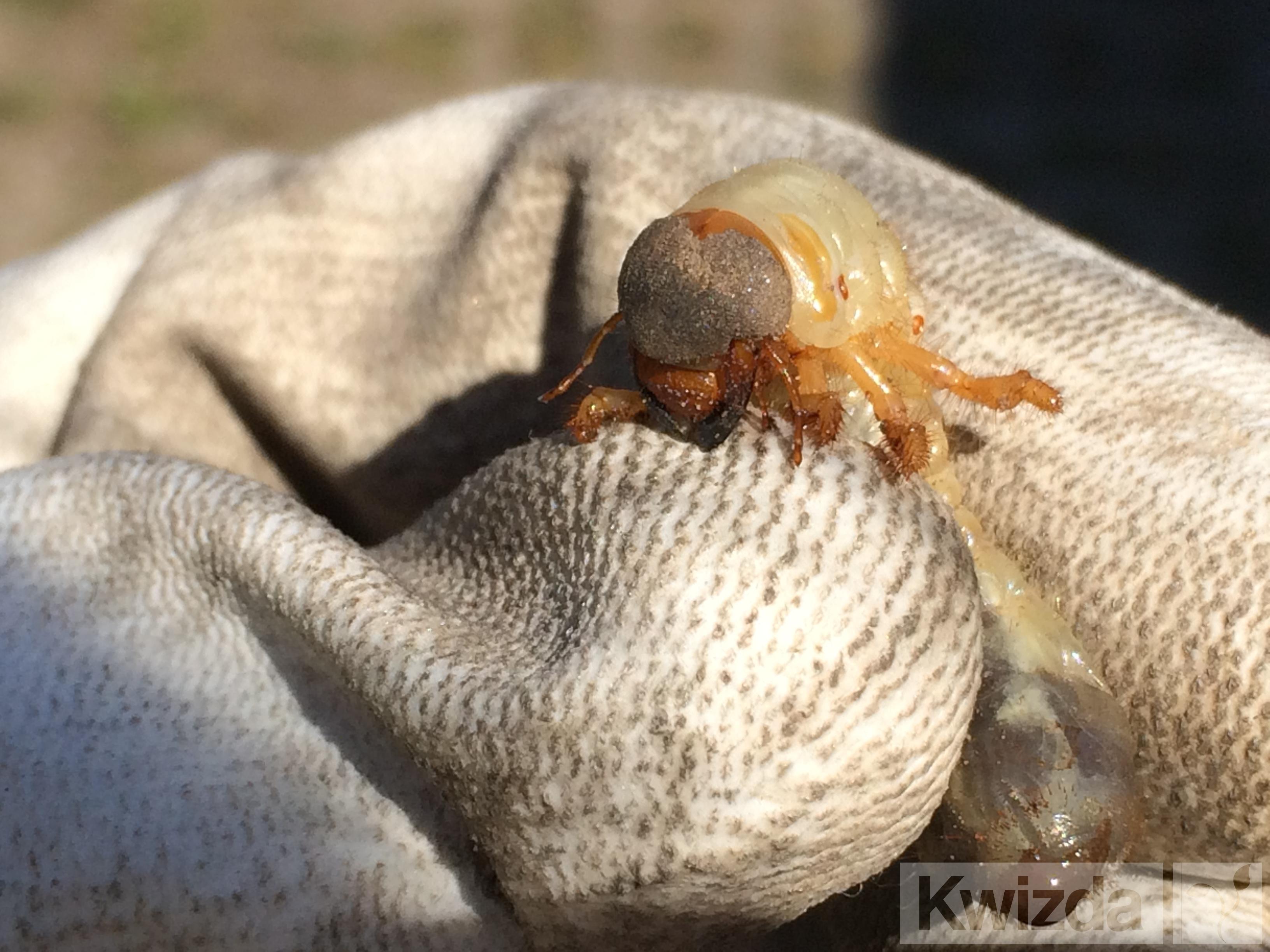Ličinka majskega hrošča (ogrc)