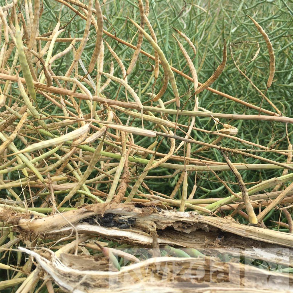 Oljna-ogrščica-sklerotinija