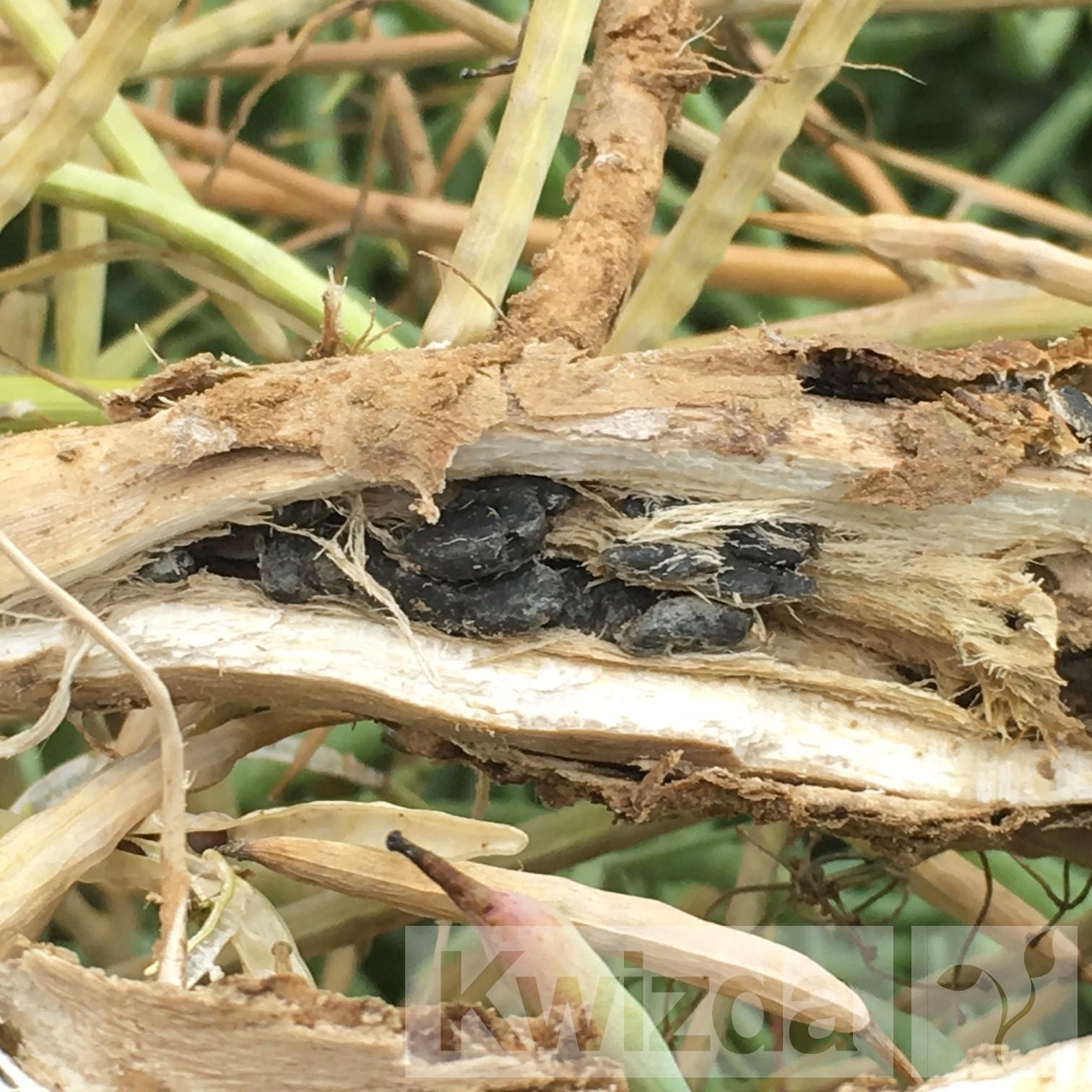 Sklerociji v steblu oljne ogrščice